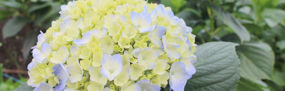 hidrangea-blue-select-c